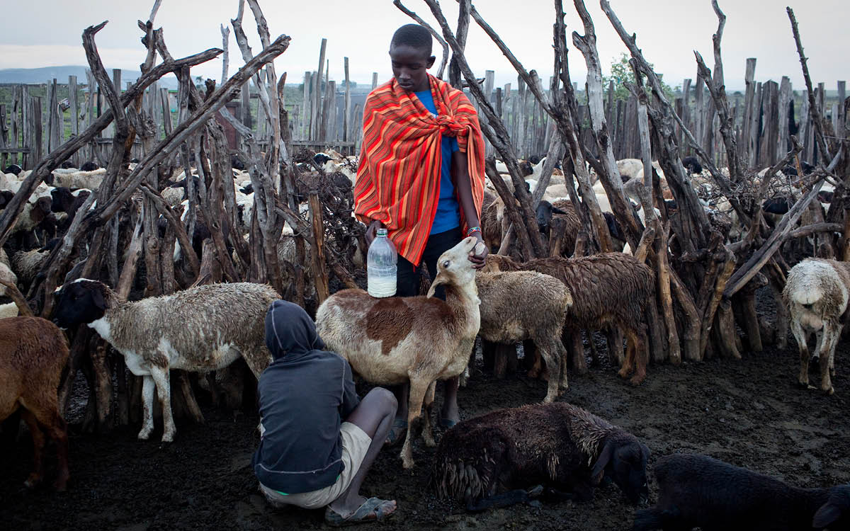 Milking in the evening is one of the duties of Massai children.