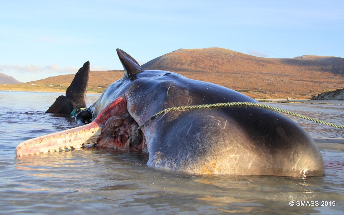 100 kilos of plastic were cut from the stomach of this whale that had washed up on a Scottish beach.